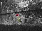 red-rose-black-fence