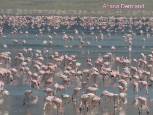 Ari Dermand distortion flamingoes